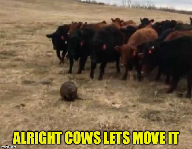 ALRIGHT COWS LETS MOVE IT | made w/ Imgflip meme maker