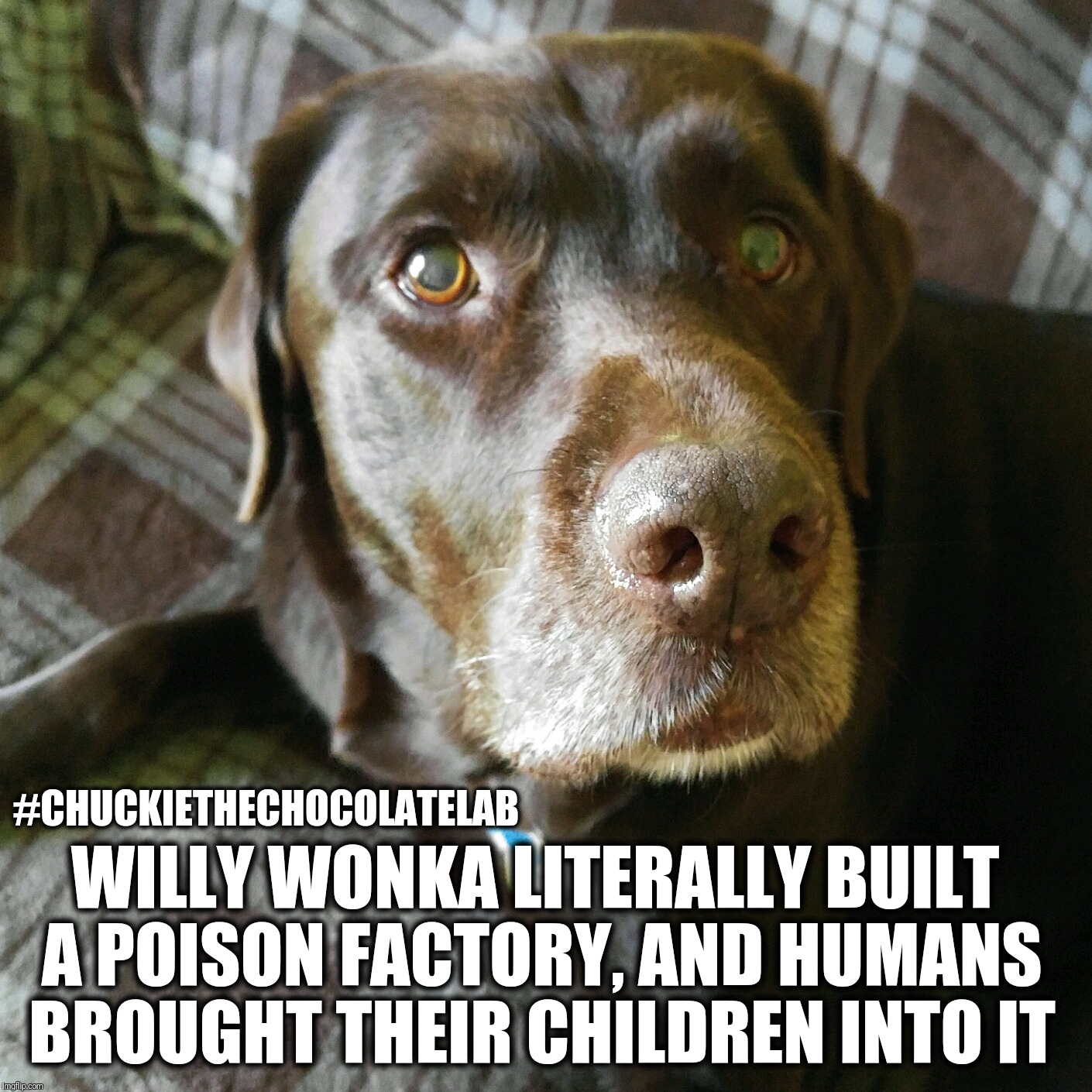 Willy Wonka poison factory  | #CHUCKIETHECHOCOLATELAB WILLY WONKA LITERALLY BUILT A POISON FACTORY, AND HUMANS BROUGHT THEIR CHILDREN INTO IT | image tagged in chuckie the chocolate lab,funny,memes,dogs,willy wonka,funny animals | made w/ Imgflip meme maker