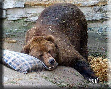 Narcoleptic Sleeping Bear Meme Blank Template - Imgflip