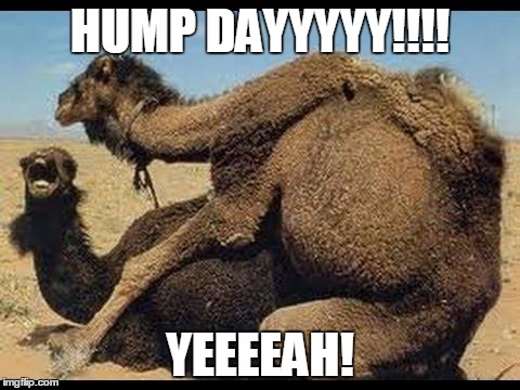 HUMP DAYYYYY!!!! YEEEEAH! | image tagged in camels | made w/ Imgflip meme maker