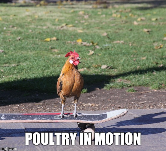 POULTRY IN MOTION | image tagged in poultry | made w/ Imgflip meme maker