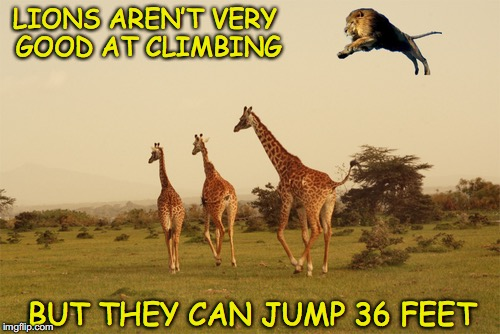 No lyin' about | LIONS AREN'T VERY GOOD AT CLIMBING BUT THEY CAN JUMP 36 FEET | image tagged in funny lion,jungle | made w/ Imgflip meme maker