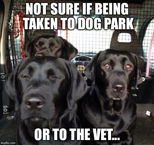 Labrador Taxi | image tagged in labradors,not sure if,dogs | made w/ Imgflip meme maker