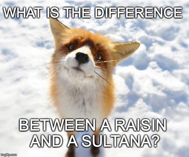 confused little fox asks the big questions in life | WHAT IS THE DIFFERENCE BETWEEN A RAISIN AND A SULTANA? | image tagged in what does the fox say | made w/ Imgflip meme maker