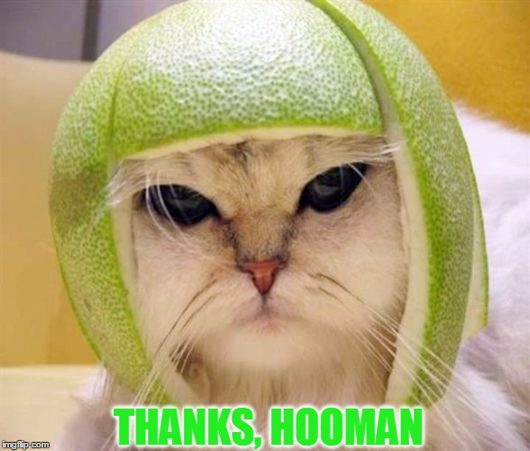 CUTEST CAT EVER WITH LIME PEEL ON HEAD! Fruit Week - A 123Guy Event - May 8-14 | THANKS, HOOMAN | image tagged in meme,cat,cute,funny,fruit week | made w/ Imgflip meme maker