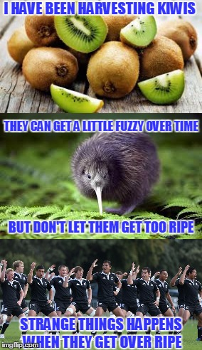 123Guy's Fruit Event | I HAVE BEEN HARVESTING KIWIS STRANGE THINGS HAPPENS WHEN THEY GET OVER RIPE THEY CAN GET A LITTLE FUZZY OVER TIME BUT DON'T LET THEM GET TOO | image tagged in kiwis,fruit week,new zealand | made w/ Imgflip meme maker
