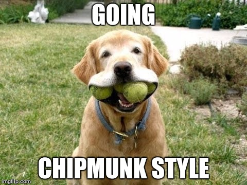 GOING CHIPMUNK STYLE | image tagged in chipmunk dog | made w/ Imgflip meme maker