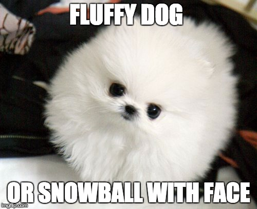 What Ever it is, its cute |  FLUFFY DOG; OR SNOWBALL WITH FACE | image tagged in dog,fluffy,snowball,cutie,cute,cute dog | made w/ Imgflip meme maker