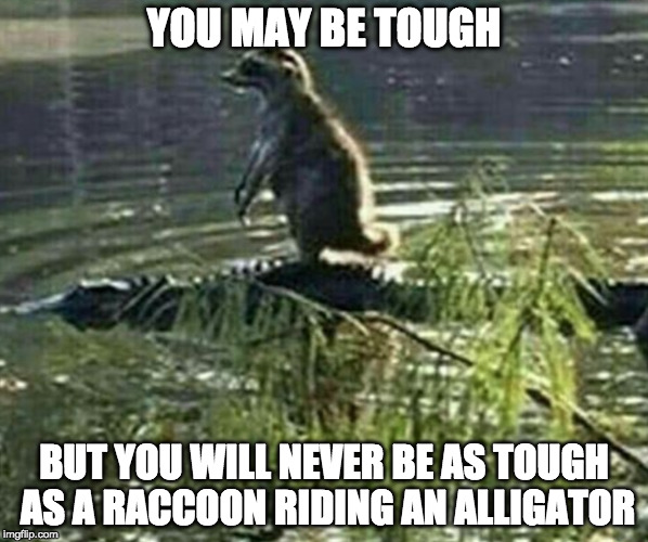 Yes that is the correct spelling. | YOU MAY BE TOUGH BUT YOU WILL NEVER BE AS TOUGH AS A RACCOON RIDING AN ALLIGATOR | image tagged in raccoon,tough,aligator | made w/ Imgflip meme maker