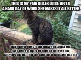 meet my cat | THIS IS MY PAIN KILLER LUISE, AFTER A HARD DAY OF WORK SHE MAKES IT ALL BETTER ONLY PAINFUL THING IS SHE MEOW'S SO LOUDLY YOU CAN'T FIND A P | image tagged in cats,cute | made w/ Imgflip meme maker