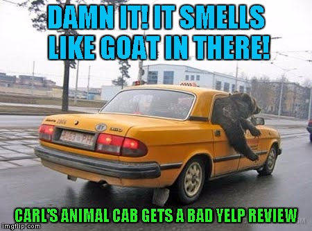 No actual goats were insulted making this meme | DAMN IT! IT SMELLS LIKE GOAT IN THERE! CARL'S ANIMAL CAB GETS A BAD YELP REVIEW | image tagged in bear,stupid humor,yes again | made w/ Imgflip meme maker