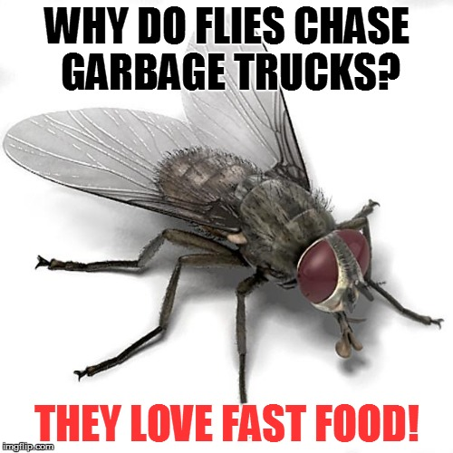 A MiniDash Meme | WHY DO FLIES CHASE GARBAGE TRUCKS? THEY LOVE FAST FOOD! | image tagged in scumbag house fly,jokes,memes,funny,minidash,fly | made w/ Imgflip meme maker