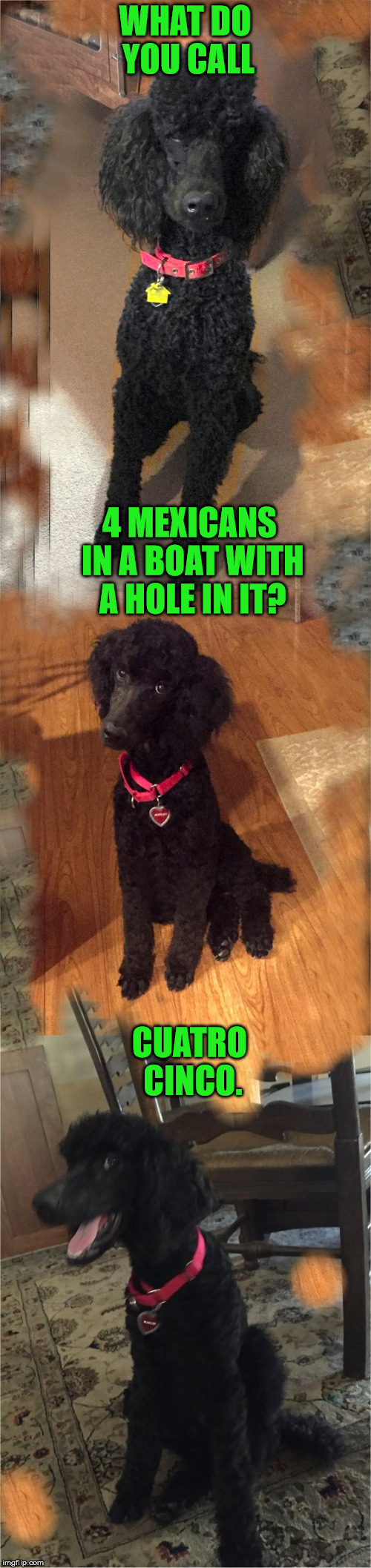 Marley says quatrooooo sinkoooo | WHAT DO YOU CALL CUATRO CINCO. 4 MEXICANS IN A BOAT WITH A HOLE IN IT? | image tagged in the marley generator meme meme,gump,funny,memes,doggy,poodle | made w/ Imgflip meme maker