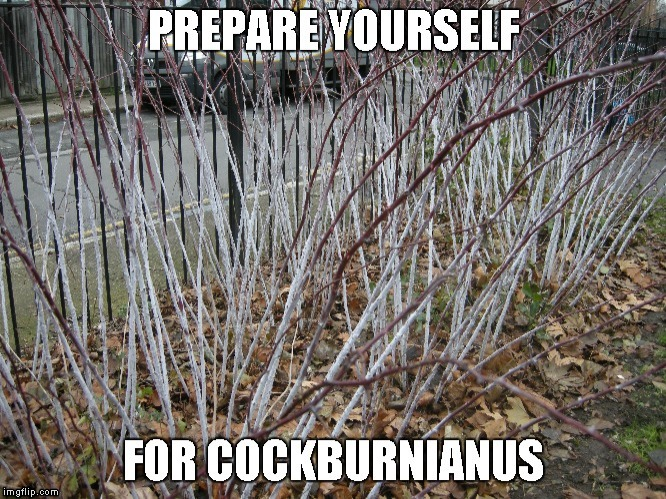 Prepare yourself for cockburnianus. | image tagged in cock,burny,anus,prepare your anus | made w/ Imgflip meme maker