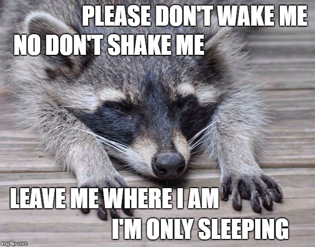 When I'm in the Middle of a Dream | PLEASE DON'T WAKE ME I'M ONLY SLEEPING NO DON'T SHAKE ME LEAVE ME WHERE I AM | image tagged in sleppy raccoon,the beatles,revolver,sleep,infp | made w/ Imgflip meme maker