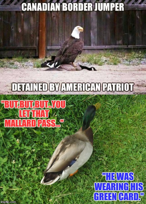 "border jumper. | ""BUT,BUT,BUT..YOU LET THAT MALLARD PASS..."" ""HE WAS WEARING HIS GREEN CARD."" 