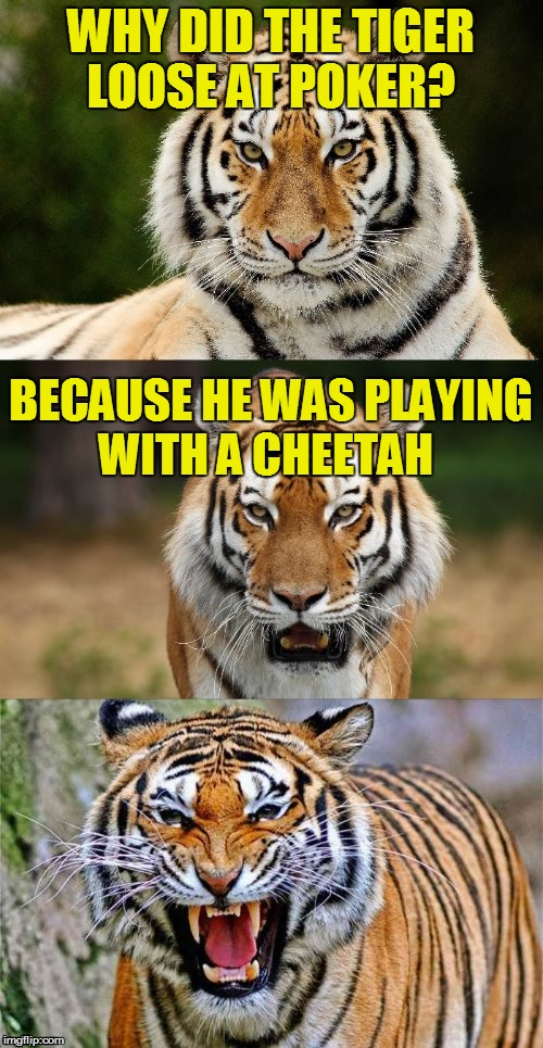 Tiger Puns | WHY DID THE TIGER LOOSE AT POKER? BECAUSE HE WAS PLAYING WITH A CHEETAH | image tagged in tiger puns | made w/ Imgflip meme maker