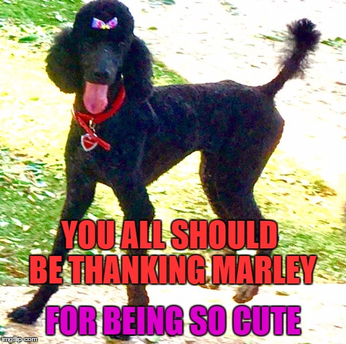 Marley | YOU ALL SHOULD BE THANKING MARLEY FOR BEING SO CUTE | image tagged in marley poodle,silly doggy,gump,bow,funny,meme | made w/ Imgflip meme maker