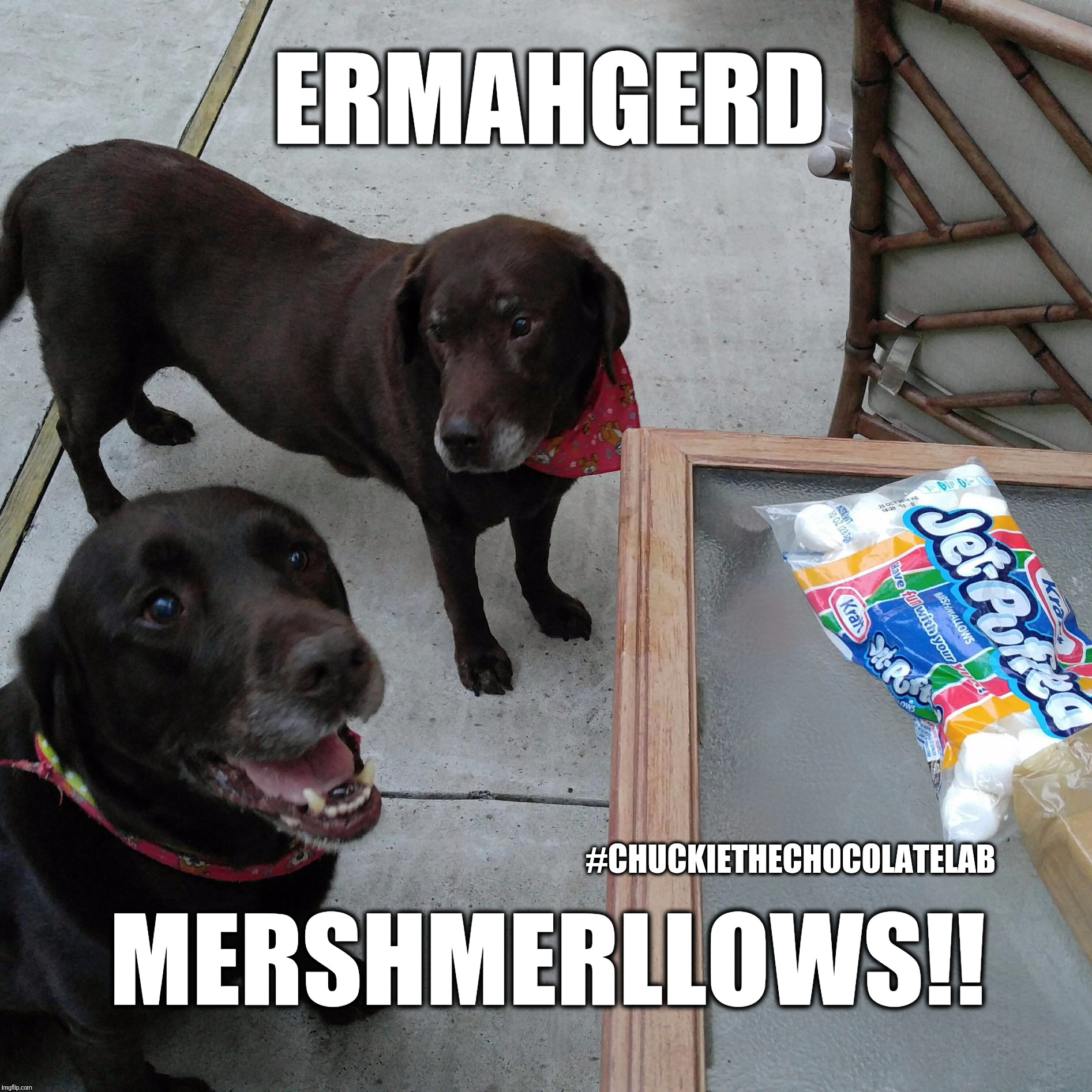 Ermahgerd Mershmerllows!  | ERMAHGERD #CHUCKIETHECHOCOLATELAB MERSHMERLLOWS!! | image tagged in chuckie the chocolate lab marshmallows,ermahgerd mershmerllows,smores,dogs,funny,ermahgerd | made w/ Imgflip meme maker