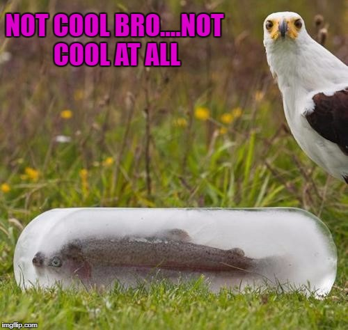 Seriously Bro?!? | NOT COOL BRO....NOT COOL AT ALL | image tagged in frozen fish,memes,not cool,funny,angry eagle,animals | made w/ Imgflip meme maker