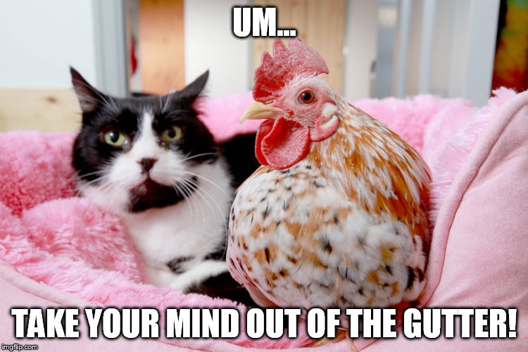 cat and chicken SUBLIMINAL PORN WEEK??? | UM... TAKE YOUR MIND OUT OF THE GUTTER! | image tagged in cat and chicken,dirty pic | made w/ Imgflip meme maker