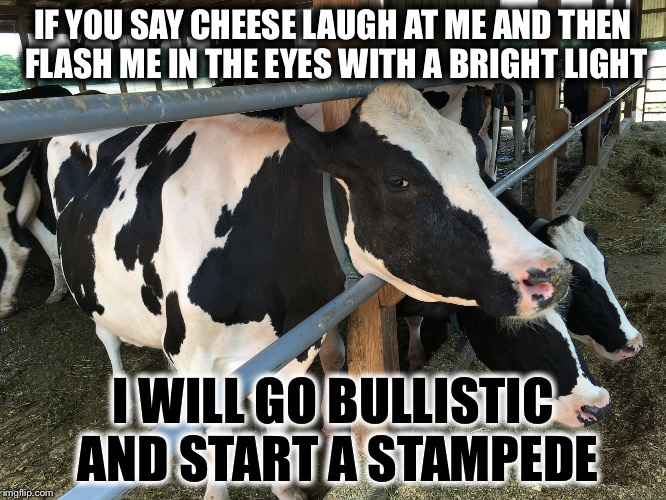 Thank You All for Upvoting My Trip to the Dairy Farm Inspired Meme to the First Page!!! Here's a Real Picture from the Trip!!! | IF YOU SAY CHEESE LAUGH AT ME AND THEN FLASH ME IN THE EYES WITH A BRIGHT LIGHT I WILL GO BULLISTIC AND START A STAMPEDE | image tagged in mad cow,memes,funny,bad pun | made w/ Imgflip meme maker