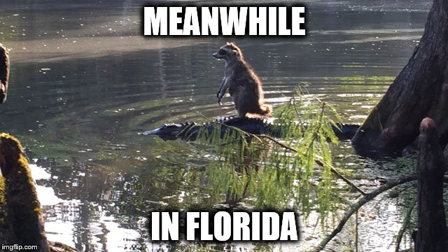 Meanwhile in Florida | MEANWHILE IN FLORIDA | image tagged in meanwhile in florida,gator,racoon,holiday,nature,florida | made w/ Imgflip meme maker