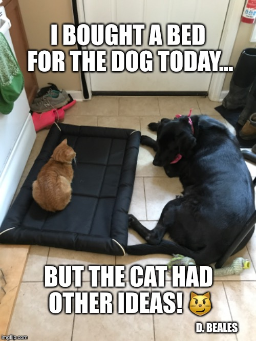 The Cat's the Boss | I BOUGHT A BED FOR THE DOG TODAY... BUT THE CAT HAD OTHER IDEAS!  | image tagged in cats,funny cats,dogs,funny dogs | made w/ Imgflip meme maker