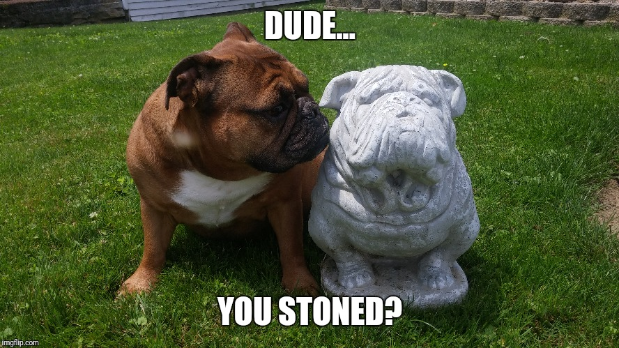 Stoned | DUDE... YOU STONED? | image tagged in bulldogs,stoner dog | made w/ Imgflip meme maker