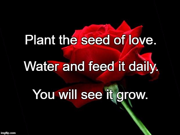 rose | Plant the seed of love. You will see it grow. Water and feed it daily. | image tagged in rose | made w/ Imgflip meme maker