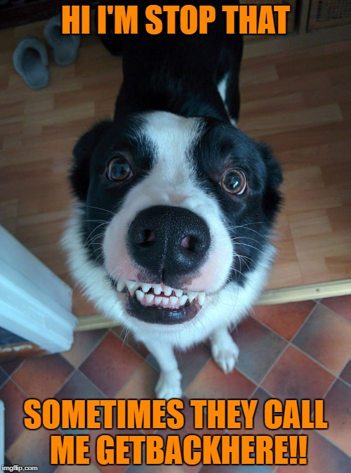 HI I'M STOP THAT SOMETIMES THEY CALL ME GETBACKHERE!! | image tagged in funny dog | made w/ Imgflip meme maker