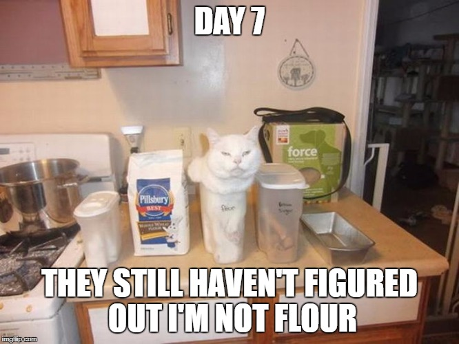 I'm not flour | DAY 7 THEY STILL HAVEN'T FIGURED OUT I'M NOT FLOUR | image tagged in they haven't figured out im not flour,cat in a container,funny cats | made w/ Imgflip meme maker