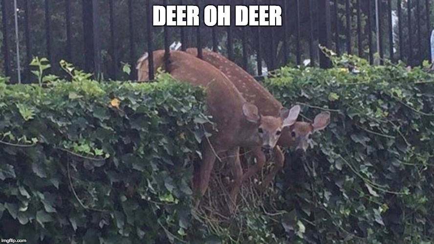 Deer oh deer | DEER OH DEER | image tagged in deer,stuck deer,deer oh deer | made w/ Imgflip meme maker