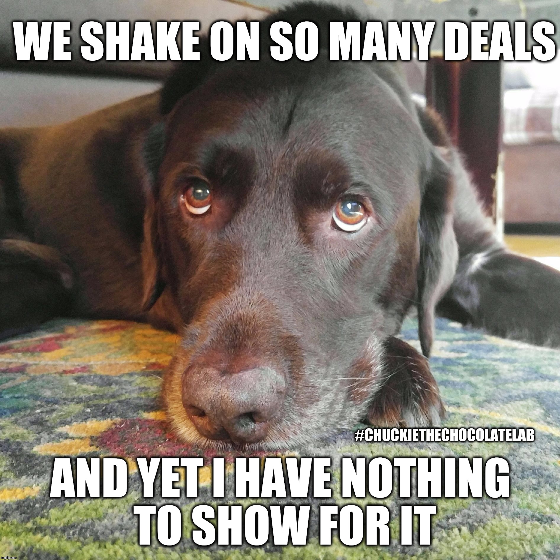 We shake on so many deals, and yet I have nothing to show for it | WE SHAKE ON SO MANY DEALS #CHUCKIETHECHOCOLATELAB AND YET I HAVE NOTHING TO SHOW FOR IT | image tagged in chuckie the chocolate lab,funny,dogs,memes,shake,nothing to show for it | made w/ Imgflip meme maker