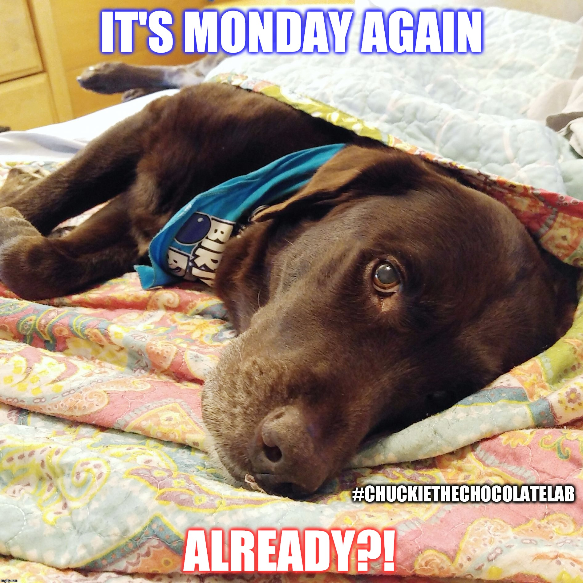 It's Monday again already?  | IT'S MONDAY AGAIN ALREADY?! #CHUCKIETHECHOCOLATELAB | image tagged in chuckie the chocolate lab,monday,case of the mondays,dogs,funny,memes | made w/ Imgflip meme maker