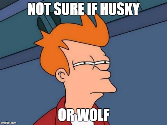 Futurama Fry Meme | NOT SURE IF HUSKY OR WOLF | image tagged in memes,futurama fry | made w/ Imgflip meme maker