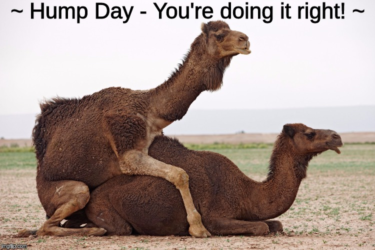 ~ Hump Day - You're doing it right! ~ | image tagged in camels having sex | made w/ Imgflip meme maker