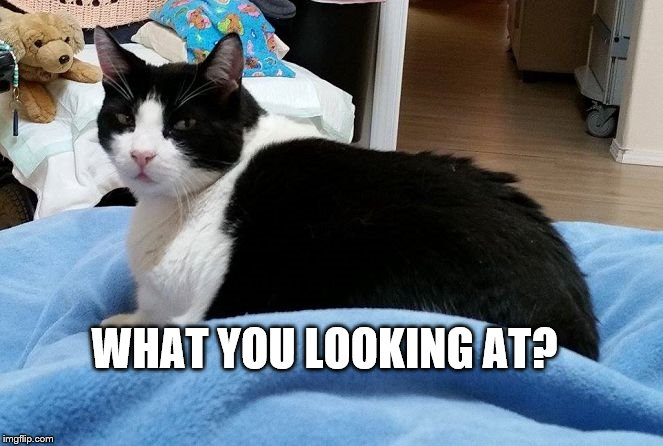 What you looking at? | WHAT YOU LOOKING AT? | image tagged in what you looking at,funny cat memes,cats,tuxedo | made w/ Imgflip meme maker