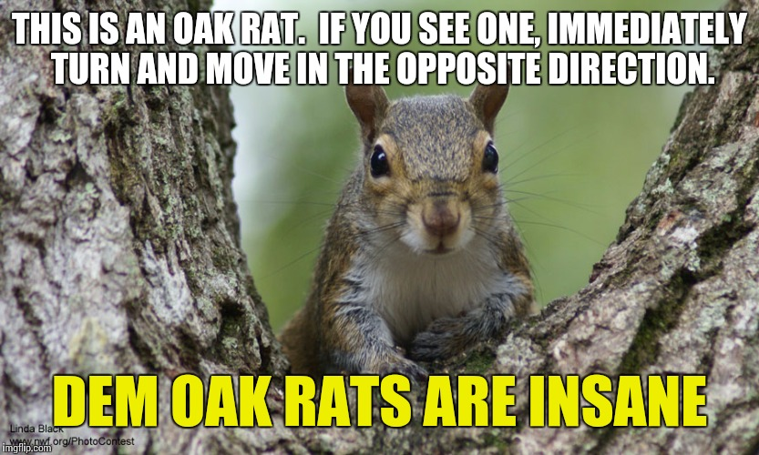 Oak Rats Public Service Announcement | THIS IS AN OAK RAT.  IF YOU SEE ONE, IMMEDIATELY TURN AND MOVE IN THE OPPOSITE DIRECTION. DEM OAK RATS ARE INSANE | image tagged in democrats,squirrel,animals,politics | made w/ Imgflip meme maker