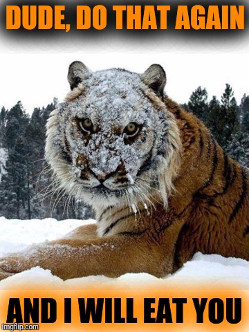Tiger Week July 24 - 31. A TigerLegend1046 Event.  Don't throw snowballs at tigers :) | DUDE, DO THAT AGAIN AND I WILL EAT YOU | image tagged in tiger week,cats,funny,memes,big cats,snowball | made w/ Imgflip meme maker