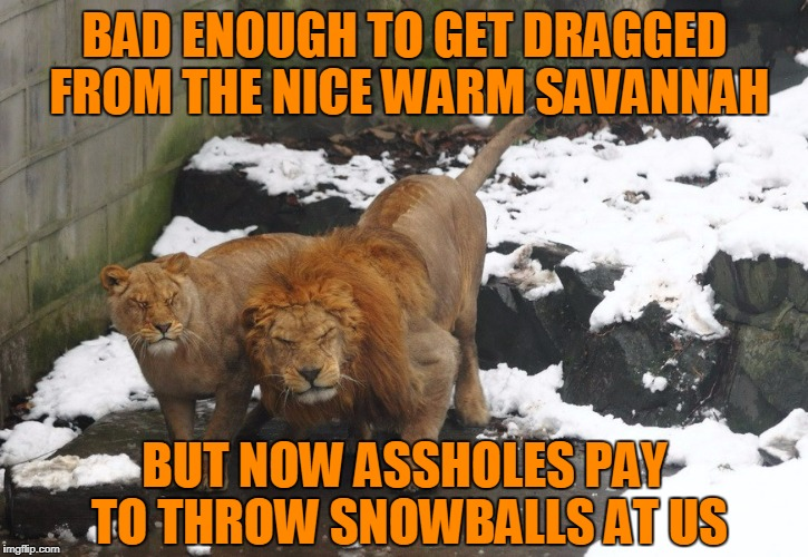 BAD ENOUGH TO GET DRAGGED FROM THE NICE WARM SAVANNAH BUT NOW ASSHOLES PAY TO THROW SNOWBALLS AT US | made w/ Imgflip meme maker