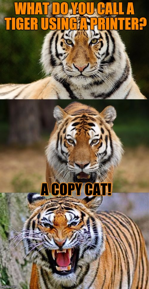 Brought Dash's meme back for Tiger Week, July 24 - 31, a TigerLegend1046 event | WHAT DO YOU CALL A TIGER USING A PRINTER? A COPY CAT! | image tagged in tiger puns,tiger week,tiger,tigerlegend1046,dashhopes,printer | made w/ Imgflip meme maker