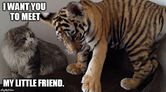 Big Cat, Little Cat, Tiger Week July 24-31 | I WANT YOU TO MEET MY LITTLE FRIEND. | image tagged in memes,big cat,tiger,cat,tiger week,friends | made w/ Imgflip meme maker