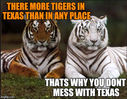 Tiger Week Fun Fact | THERE MORE TIGERS IN TEXAS THAN IN ANY PLACE THATS WHY YOU DONT MESS WITH TEXAS | image tagged in two tigers,tiger week,texas | made w/ Imgflip meme maker