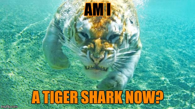 Tiger Week and Shark Week, TigerLegend1046/Raydog events | AM I A TIGER SHARK NOW? | image tagged in tiger week,shark week,tigerlegend1046,raydog,tiger shark,tiger underwater | made w/ Imgflip meme maker