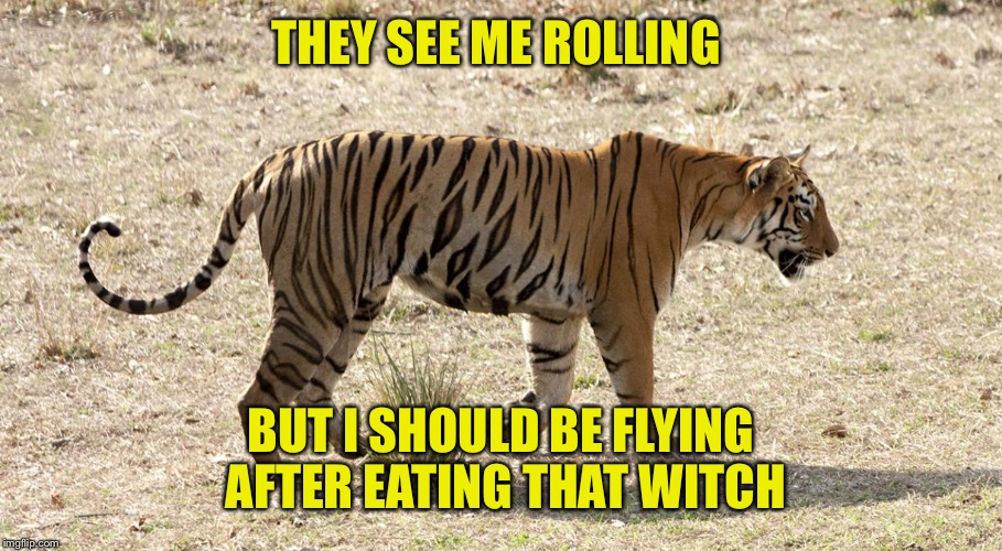 Tiger Week-in reference to Raydog's tiger meme | THEY SEE ME ROLLING BUT I SHOULD BE FLYING AFTER EATING THAT WITCH | image tagged in memes,tiger,week | made w/ Imgflip meme maker