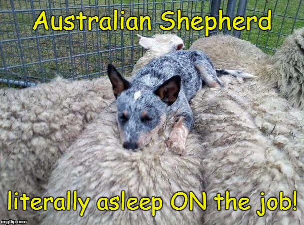 Sleeping on the Job | Australian Shepherd literally asleep ON the job! | image tagged in funny memes,funny dog memes | made w/ Imgflip meme maker