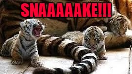 Tiger Week July 24 - 31...A TigerLegend1046 Event | SNAAAAAKE!!! | image tagged in tiger kitten,memes,tiger week,tigers,funny,animals | made w/ Imgflip meme maker