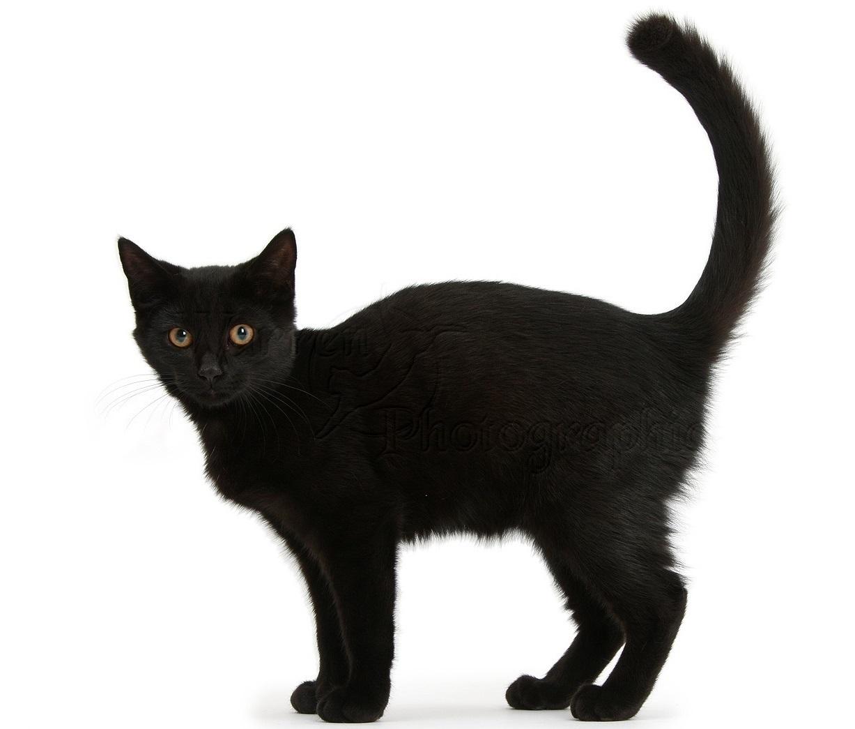 Black Cat Blank Template Imgflip