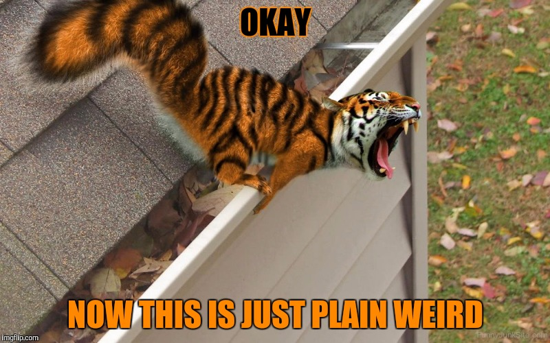 I mean seriously? A tiger squirrel? Tiger Week, a TigerLegend1046 event | OKAY NOW THIS IS JUST PLAIN WEIRD | image tagged in tiger week,tigerlegend1046,tiger,squirrel,weird photoshop,animals | made w/ Imgflip meme maker